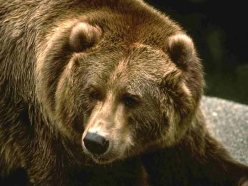 Вопросы о медведях в ЕГЭ