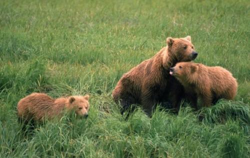 Интересные факты о медведях4