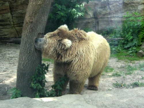 Медведи Киевского зоопарка2