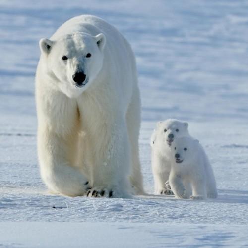 Описание белого медведя