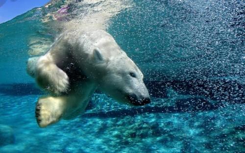 Описание белого медведя3