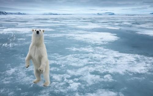 Рацион белого медведя