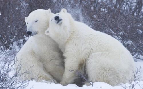 Самые крупные животные – белые медведи