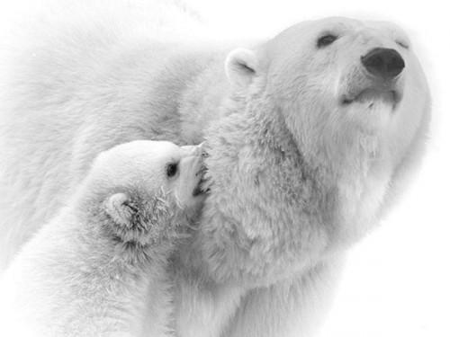 Самые крупные животные – белые медведи2