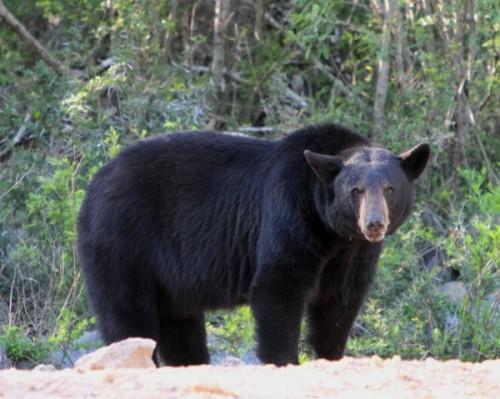 Черные медведи3