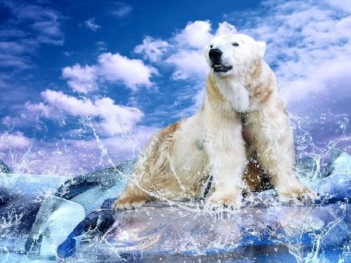 Белые медведи – снежные короли полярного круга