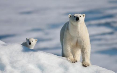 Белые медведи – снежные короли полярного круга3