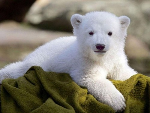 Все о белом медведе3
