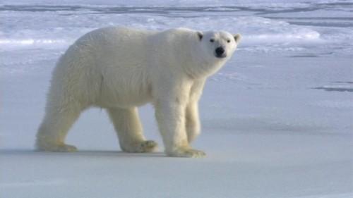 Все самое интересное о полярных медведях2