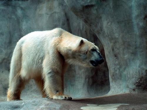Все самое интересное о полярных медведях4