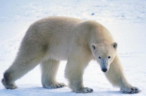 Все самое интересное о полярных медведях5