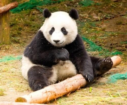 Интересные факты о пандах3