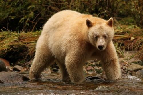Кермодский медведь-призрак2