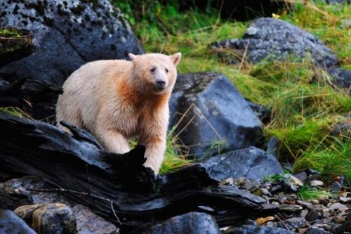 Кермодский медведь-призрак4