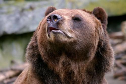 Медведь с острова Кадьяк