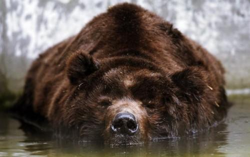 Медведь с острова Кадьяк2