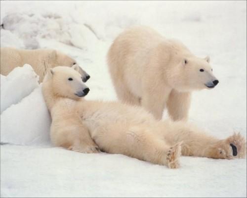 Полярный медведь – русский медведь.3