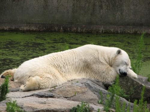 Полярный медведь – русский медведь.5