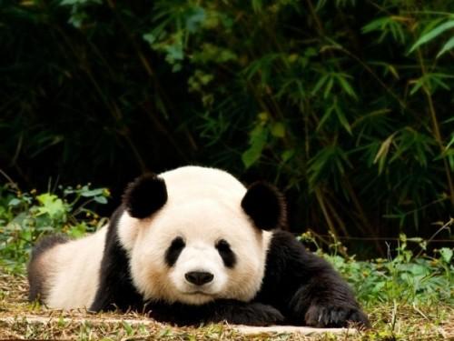 Такие милые плюшевые панды.3