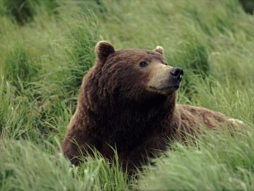 Важность медведей в современной природе