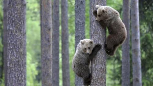 Важность медведей в современной природе 3