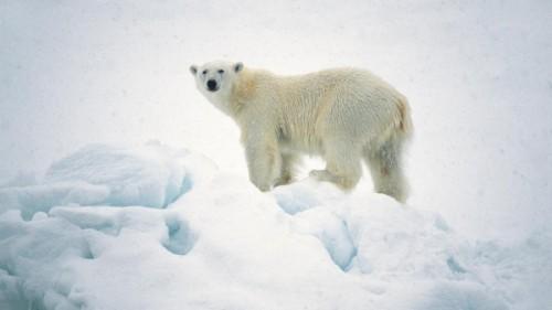 Общие сведения о медведях.5