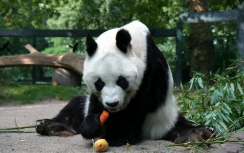 Повадки и среда обитания большой панды5