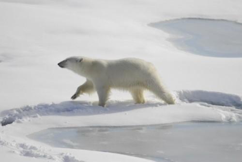 Интересные особенности жизни полярного медведя 4