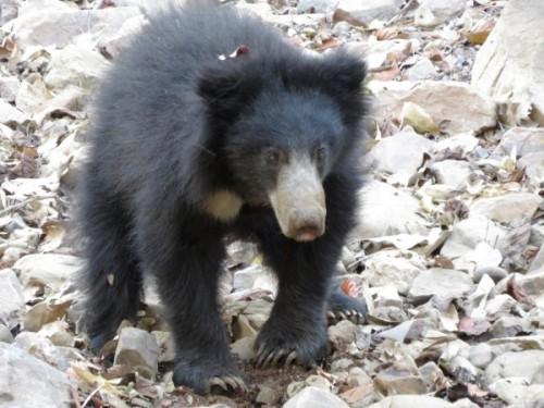 Медведь-губач4