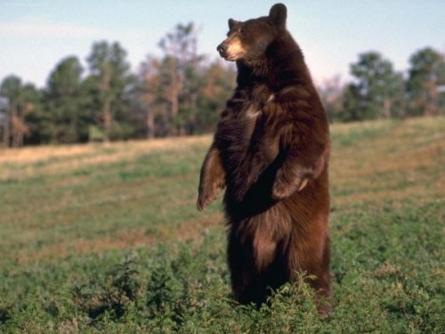 Медведь - это всеядное животное.2