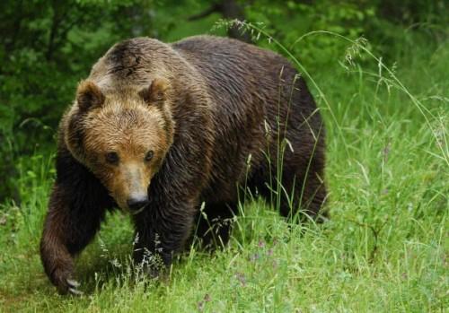 Медведь – один из символов России для иностранцев2
