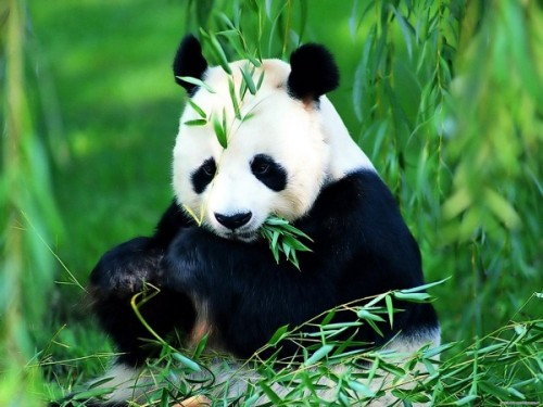Панда – бамбуковый медведь3