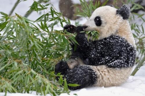 Панда – бамбуковый медведь4