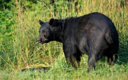 Американский медведь3