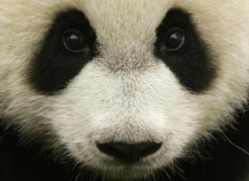 Большая Панда2