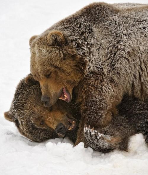 Как живётся медведям?2]