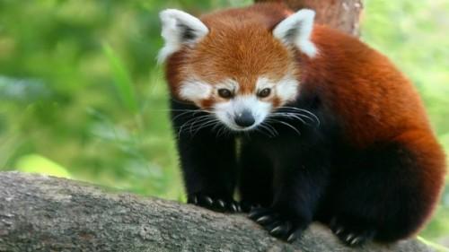 Красная панда 4