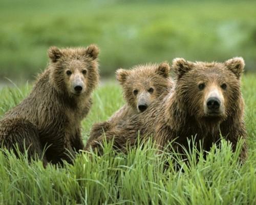 С медведями по жизни 5